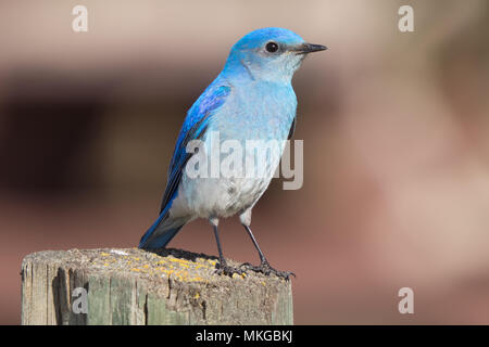 A male Mountain Bluebird (Sialia currucoides), perched on a fencepost. Francis Viewpoint, Beaverhill Lake, Alberta, Canada. - Stock Photo