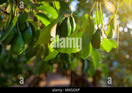 Avocado fruit grooving in the tree of the tropical garden.