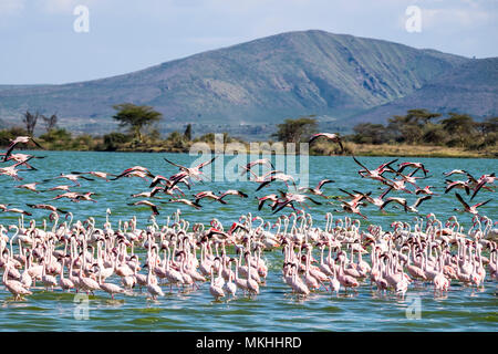 Lesser Flamingo (Phoeniconaias minor) and Greater Flamingo (Phoenicopterus roseus), Elmenteita Lake, Soysambu Conservation Area, Kenya - Stock Photo