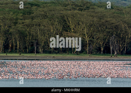 Lesser Flamingo (Phoeniconaias minor), Elmenteita Lake, Soysambu Conservation Area, Kenya - Stock Photo