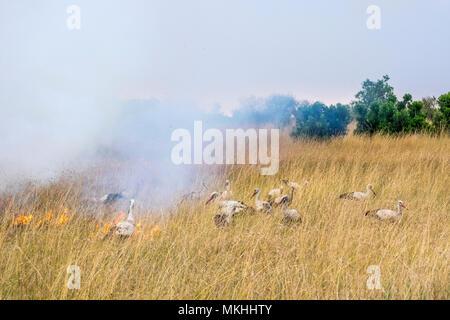 White Storks (Ciconia ciconia), feeding on the edge of a bush fire, Masai-Mara Reserve, Kenya - Stock Photo