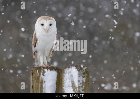 Barn owl (Tyto alba) perched on a fence post while snowing, Angland - Stock Photo