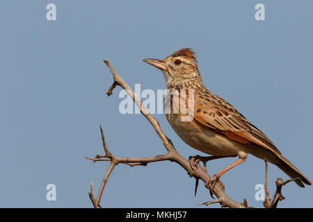 Rufous-naped Lark (Mirafra africana) adult perched on an observing branch, South Africa - Stock Photo