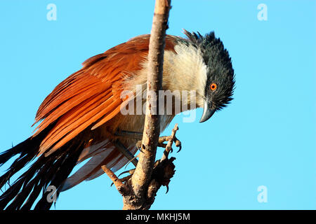 Senegal Coucal (Centropus senegalensis) adult perched drying after a bath, Senegal - Stock Photo