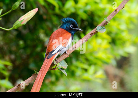 African Paradise-Flycatcher (Terpsiphone viridis)adult male perched, North Tanzania - Stock Photo