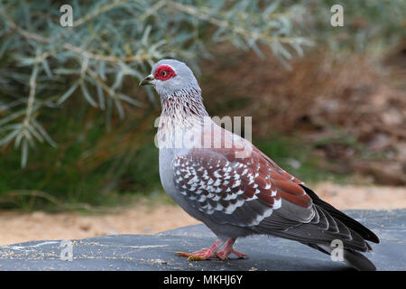 Speckled pigeon (Columba guinea) adult on a stone observing, South Africa - Stock Photo