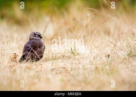 Hen Harrier (Circus cyaneus) female on ground, Asturias, Spain - Stock Photo