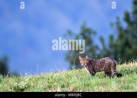 European Wild Cat (Felis silvestris) on the lookout in a meadow, Asturias, Spain - Stock Photo