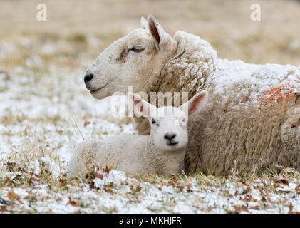 Sheep (Ovis aries) laying in the snow, England - Stock Photo