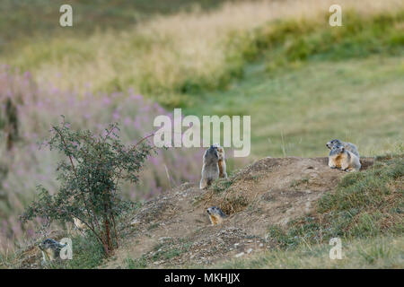 Alpine Marmots (Marmota marmota) playing to the entrance of their burrow, Alps, France - Stock Photo