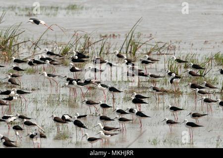 Black-winged Stilt (Himantopus himantopus) groupe in water, France - Stock Photo