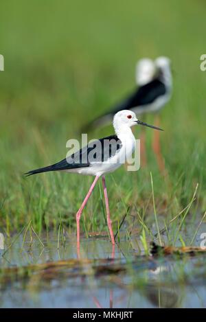 Black-winged Stilt (Himantopus himantopus) in water, France - Stock Photo