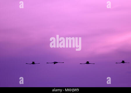 Great Flamingoes (Phoenicopterus roseus) in flight at dawn, Camargue, France - Stock Photo