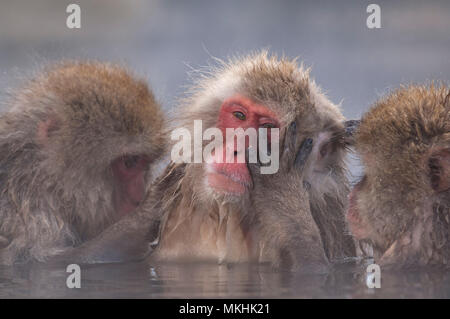 Japanese macaque or snow japanese monkey (Macaca fuscata) resting in hot water, Japan - Stock Photo