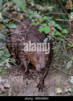 European beaver (Castor fiber) emerging at dusk. Dead Arm of the Rhone River, Savoie, France - Stock Photo