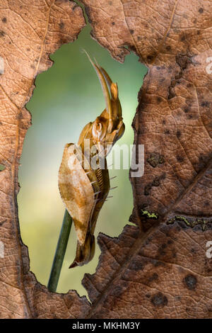 Mantis (Gongylus gongylodes) - Stock Photo