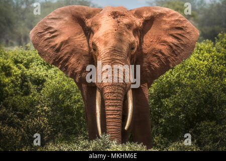 Red elephant (Loxodonta africana) eating in the savanna, Tsavo National Park, Kenya - Stock Photo