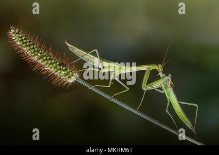 Female Praying mantis (Mantis religiosa) eating another female, Luzzara, Reggio Emilia, Italy - Stock Photo