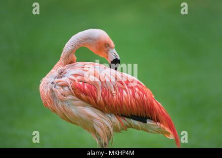 Flamingo bird on green natural background