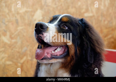 Bernese Mountain Dog - Stock Photo