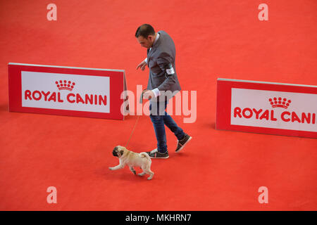 Overhead view of a man walking his Pug during a dog show - Stock Photo