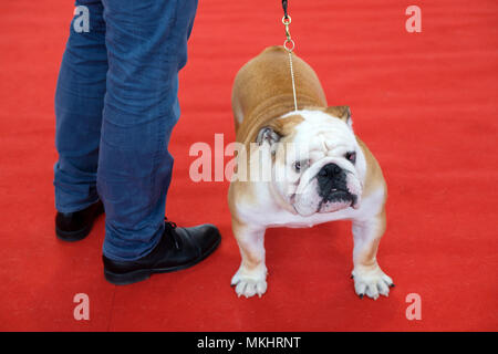 Owner with Bulldog at a dog show - Stock Photo