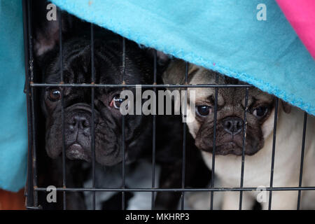 Two french bulldogs inside a cage - Stock Photo