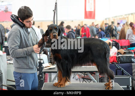 Dog groomer brushing the fur coat of a Gordon Setter - Stock Photo