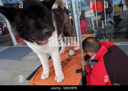 Groomer preparing a dog for competing on a dog show - Stock Photo