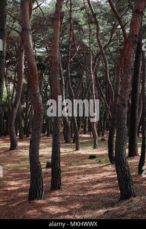 Sinuous red pine trees in a little park on the edge of Gyeongju, South Korea, with sunlight coming through the canopy, casting shadows on the ground. - Stock Photo