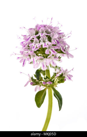 Summer savory flowers isolated on white background - Stock Photo