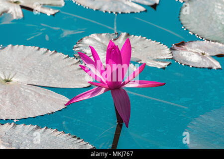 Red lotus flower on the lake surface. - Stock Photo