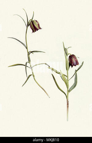 Fritillaries, Fritillaria messanensis - Stock Photo