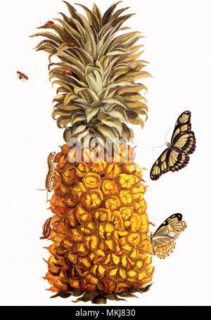 Pineapple, Ananas comosus - Stock Photo