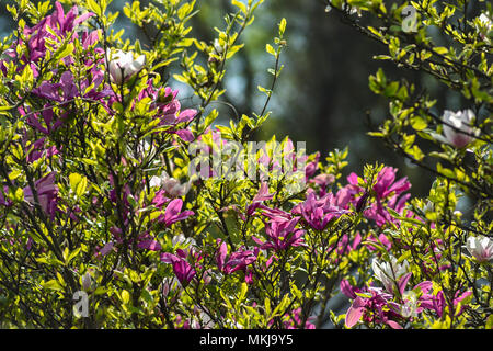 Magnolia flowers blooming in the spring garden. - Stock Photo