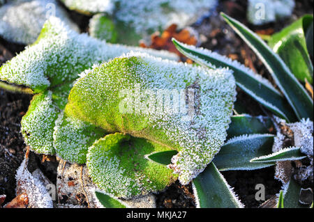 Close up detail of hoarfrost or radiation frost  coating a green leaf. Tiny ice crystals glisten in the sunlight, a white dusting on  soft green - Stock Photo