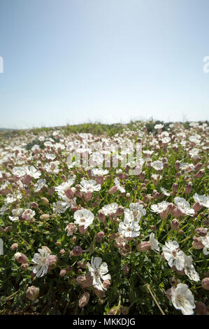Flowering sea campion, Silene uniflora, in May growing on Chesil beach near West Bexington Dorset England UK. Sea campion favours coastal regions arou - Stock Photo