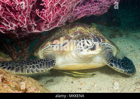An endangered species, this green sea turtle, Chelonia mydas, is resting under a fan of gorgonian coral along with two remora, Philippines. - Stock Photo