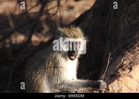 Vervet Monkey in the evening sunlight. - Stock Photo