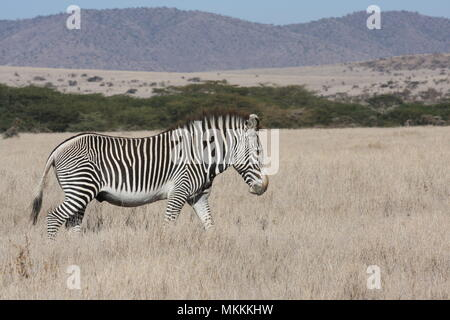 Grevy's Zebra, -  the one with the closer stripes - Stock Photo