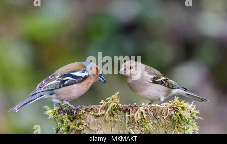 Male and female chaffinches sitting on moss covered fence post - Stock Photo