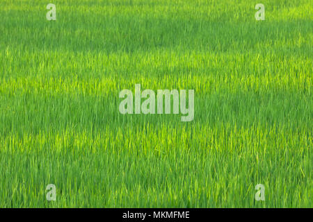 Green rice field in day - Stock Photo