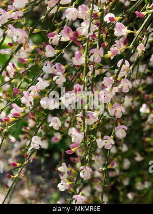 Pink and white flowers of the arching, twiggy common broom variety, Cytisus scoparius 'Moyclare Pink' - Stock Photo