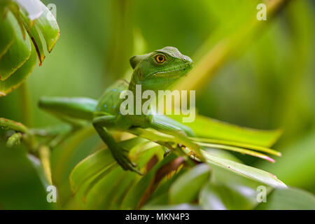 Green Basilisk - Basiliscus plumifrons, green lizard from Central America forests, Costa Rica. - Stock Photo