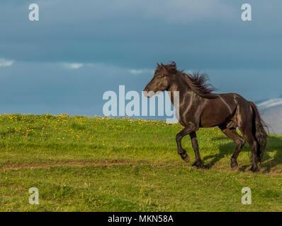 Icelandic Horse, Iceland - Stock Photo