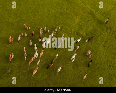 Top view of horses running, Iceland. This image is shot using a drone. - Stock Photo