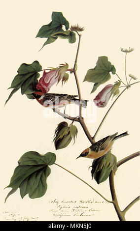 Bay-Breasted Warbler - Stock Photo