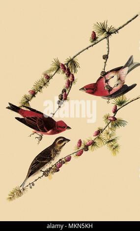 Purple Finches - Stock Photo