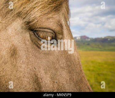 Icelandic Horse, Iceland - Stock Photo
