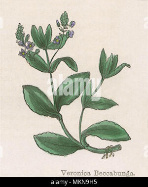 Brooklime - Stock Photo